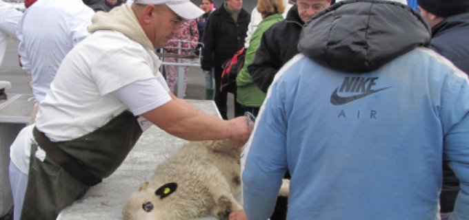 În perioada premergătoare Sărbătorilor Pascale, în incinta Târgului de animale va fi un punct de sacrificare a mieilor