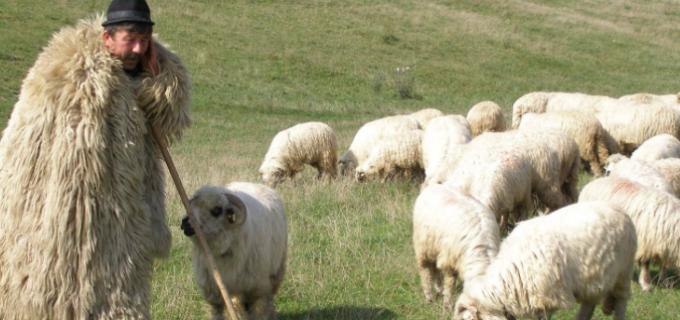 """Comunicat CJ: """"Împreunatul oilor"""" la Bârlea și Rugășești"""