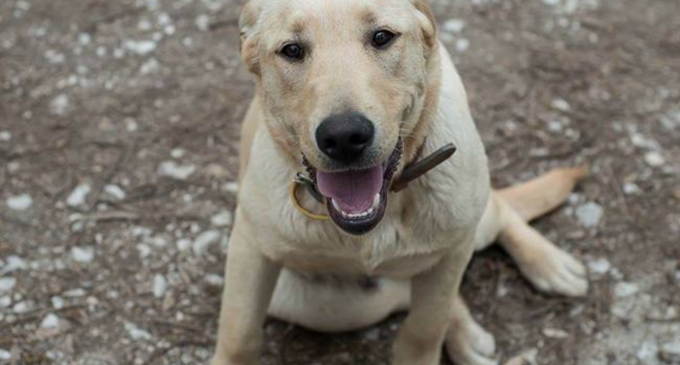 ANUNȚ – S-a pierdut un câine Labrador în Turda Nouă! Se oferă recompensă celui care îl găsește