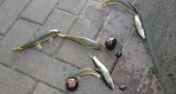 VIDEO: Pești vii în fântâna arteziană din zona pietonală. Persoanele rău intentionate vor fi identificate cu ajutorul camerelor video