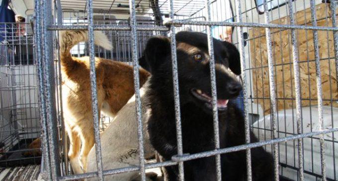 Număr impresionant de câini fără stăpân capturați în luna Septembrie, la Câmpia Turzii!