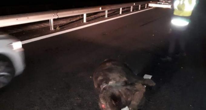 Accident grav pe Autostrada A3! Un urs a murit după ce a fost lovit de o maşină, pe sectorul Câmpia Turzii – Turda