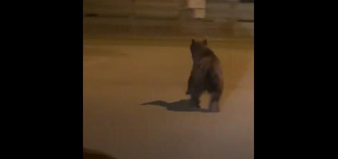 VIDEO: Ursul a ieșit din nou la plimbare pe străzile din Câmpia Turzii. Cetătenii înștiintati prin mesaj RO-alert