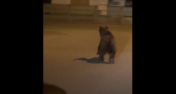 VIDEO: Un urs a fost văzut pe străzile din Câmpia Turzii