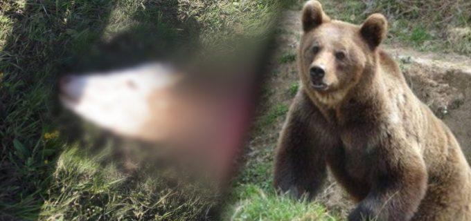 Un URS a atacat și mâncat o VACĂ în incinta unei ferme dintre Săndulești și Cheile Turzii