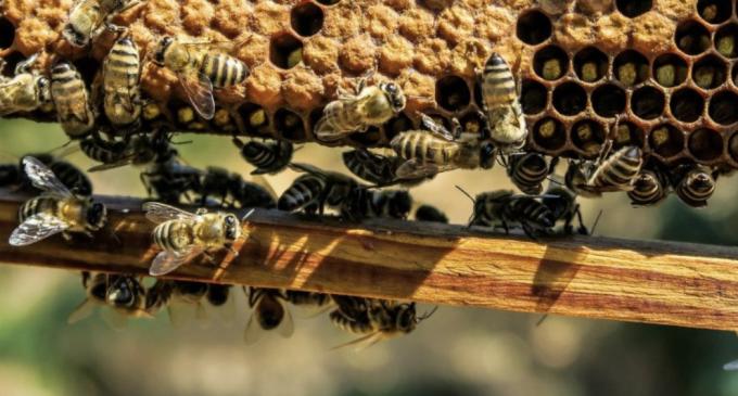ANUNȚ – În atenția crescătorilor de albine și a producătorilor apicoli din Municipiul Câmpia Turzii