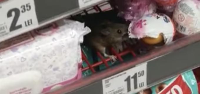 VIDEO: Șoarece filmat în timp ce mânca ciocolată, în magazinul Auchan